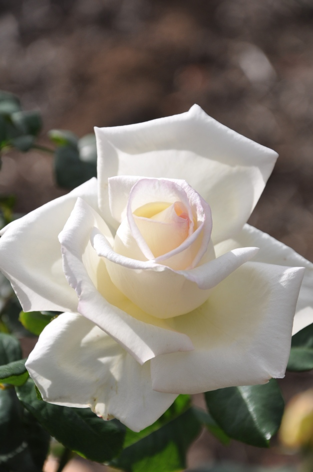 White Rose Color Photography