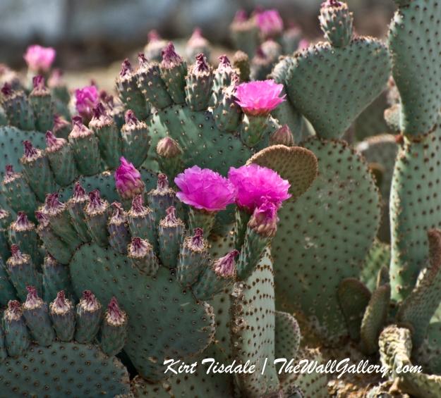 Cactus Bloom 1