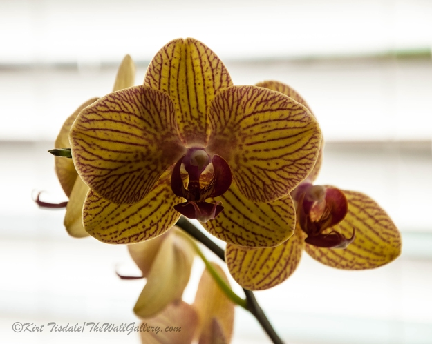 Red Veined Orchid 1