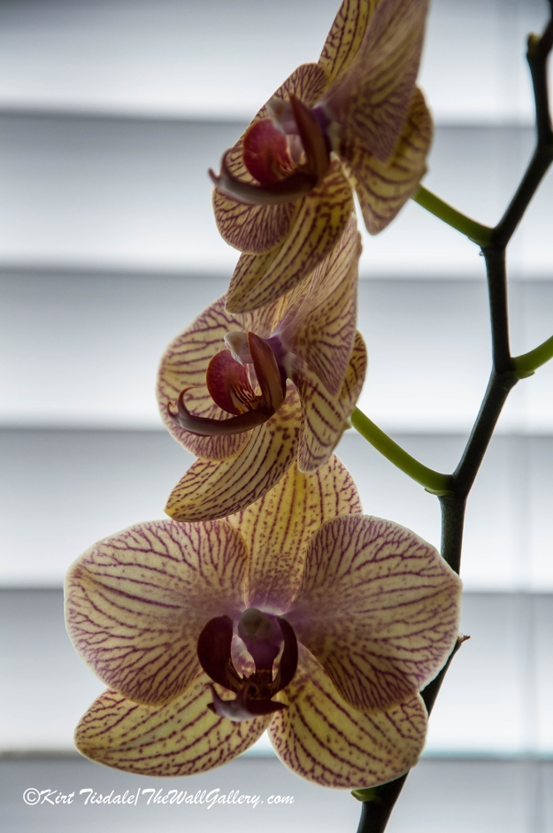 Red Veined Orchid 2