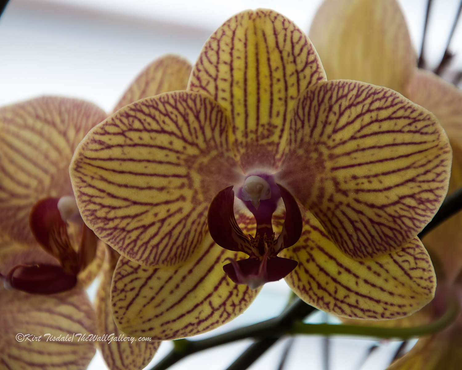 Red Veined Orchid 3