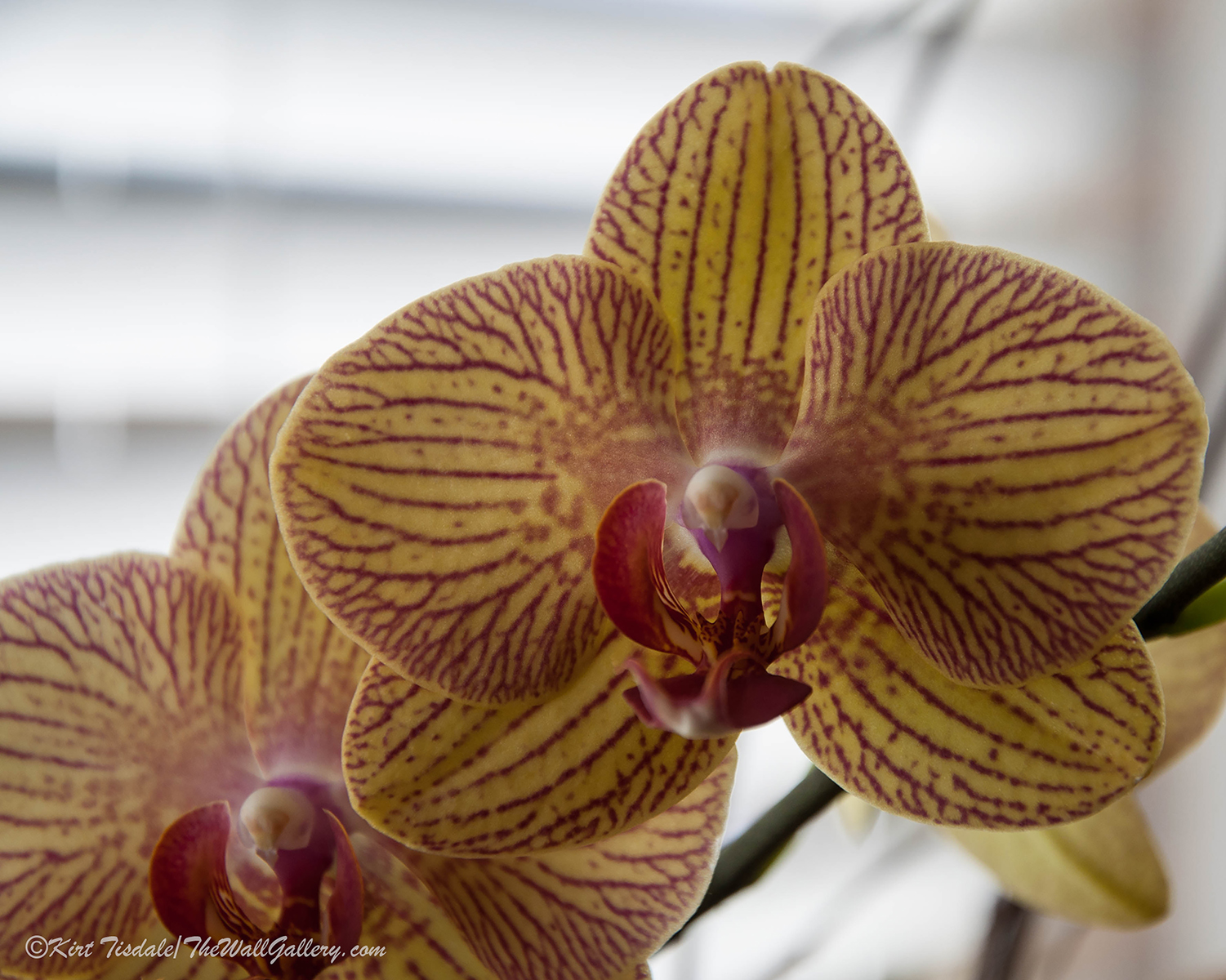 Red Veined Orchid 4