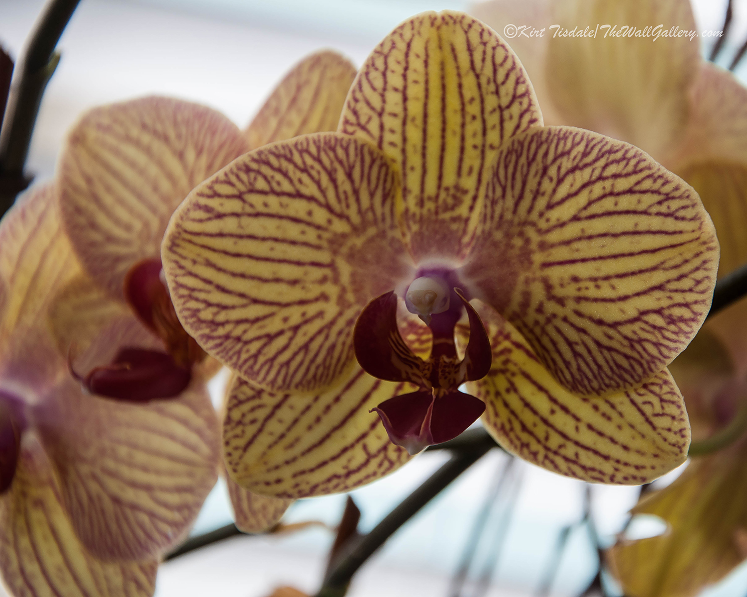 Red Veined Orchid 5