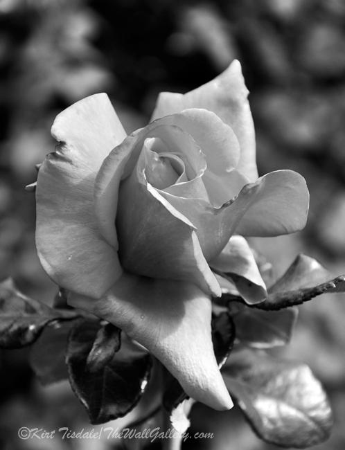 B&W Floral Bloom 4