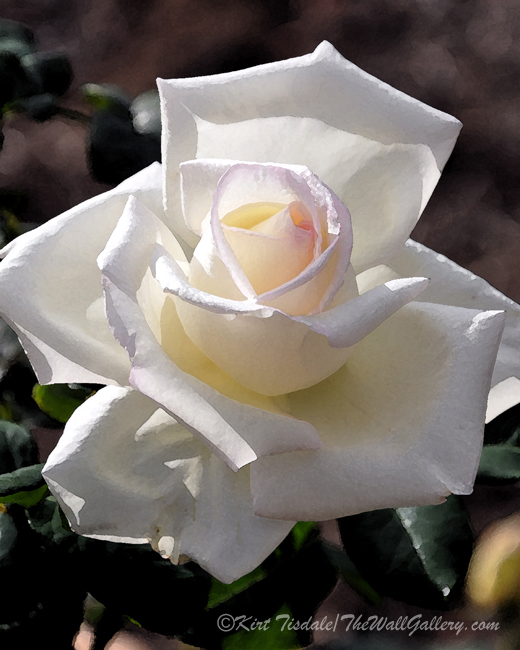 """White Rose Bloom"""