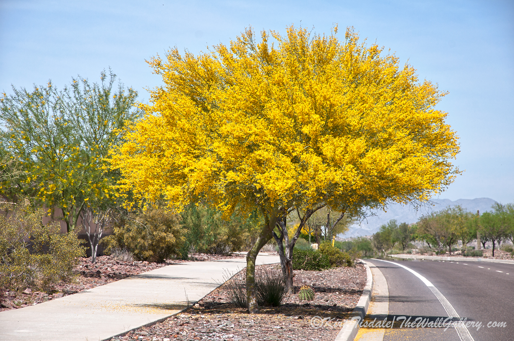Landscaping With Palo Verde Trees : Palo verde spring bloom three