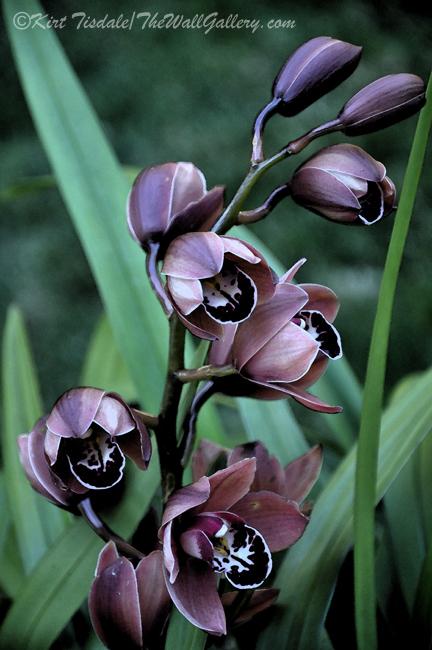 Mauve Orchid Blooms