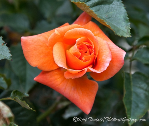 Arizona Territorial Rose Garden - Orange Bud