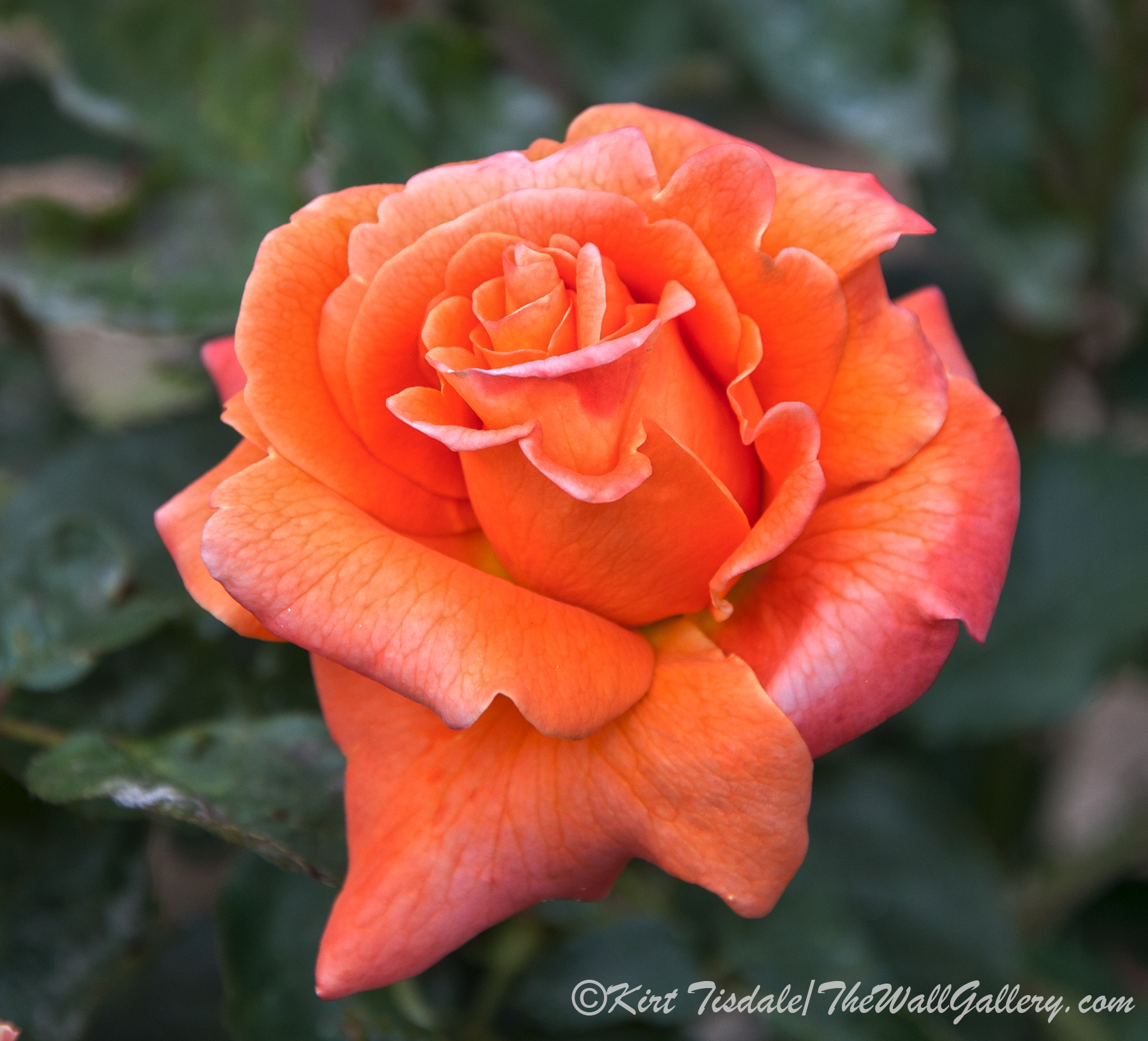 Arizona Territorial Rose Garden - Orange