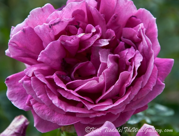 Arizona Territorial Rose Garden - Purple