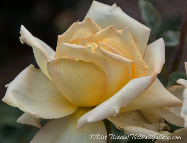 Arizona Territorial Rose Garden - Yellow